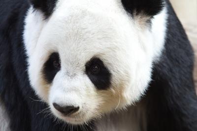 panda (2)