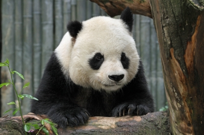content-panda