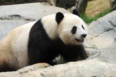 panda-walking